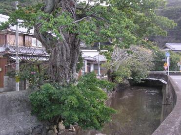 黒潮沿線のランドマークの木はあちこちに生えていて、 ここ日高町のシンボルともなっている。