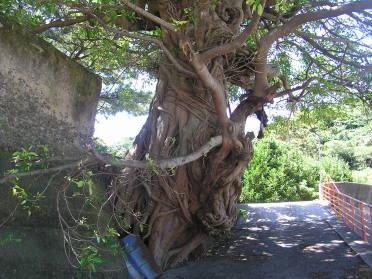 立派なアコウの木。沖縄から房総半島まで黒潮沿線上の道標のように 生える亜熱帯植物。